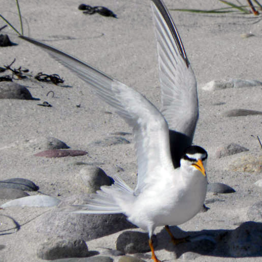 Adult least tern in Venice Beach, CA.