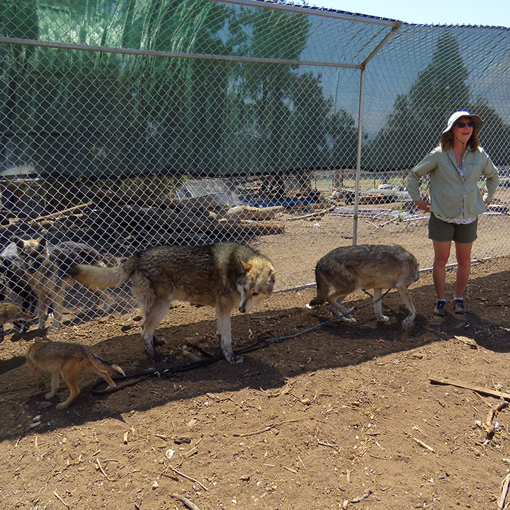 Wolf hybrids at the research site in Frazier Park, CA.